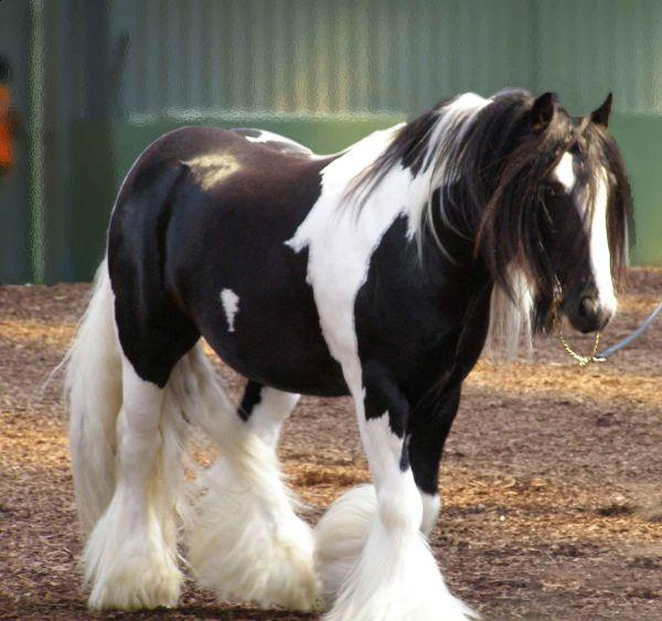 Mr Beau Jangles gypsy vanner stallion