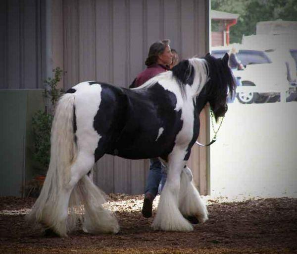 Gypsy vanner at stallion parade