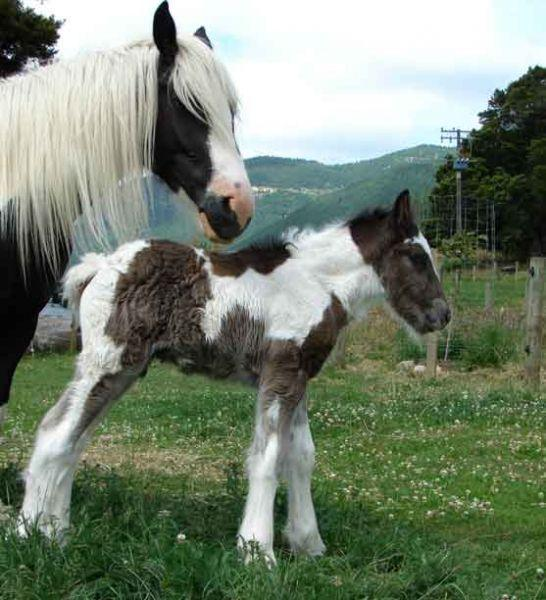 gypsy vanner colt for sale