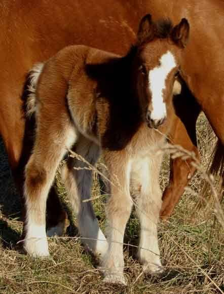 gypsy vanner filly