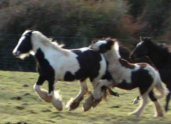 gypsy cob horses running in field