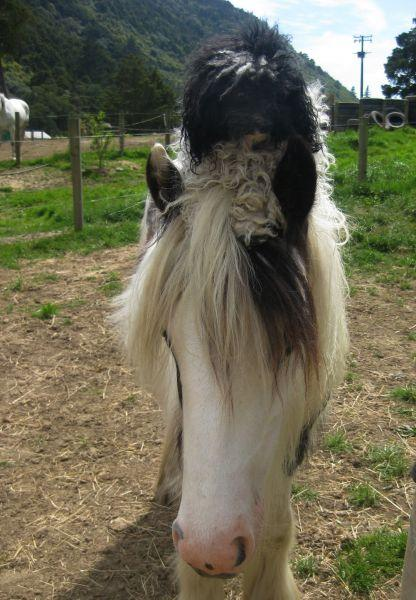 gypsy horse vanner  filly