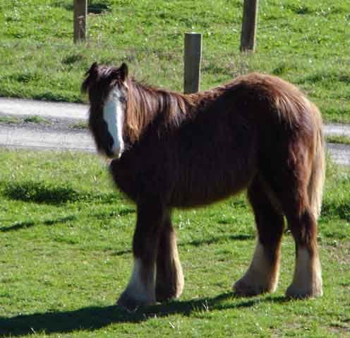 watermark traditional gypsy cob