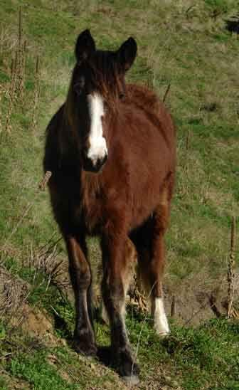gypsy sport horse cross
