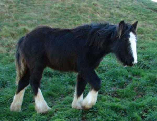 gyspy cob filly for sale
