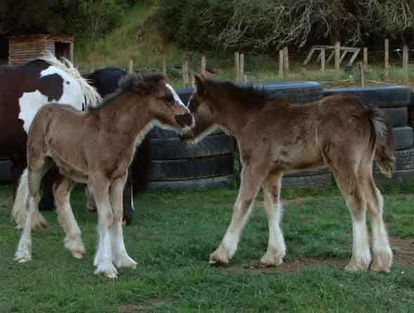 rare gypsy cob filly