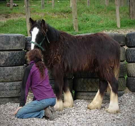 gypsy horse with good temperament