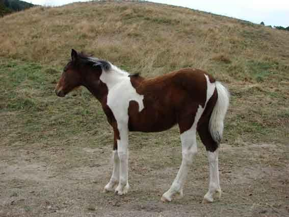 gypsy vanner filly cross