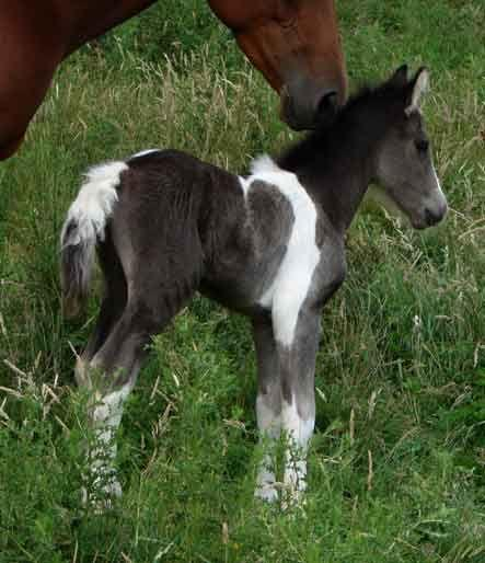 smokey black colt from The Butler