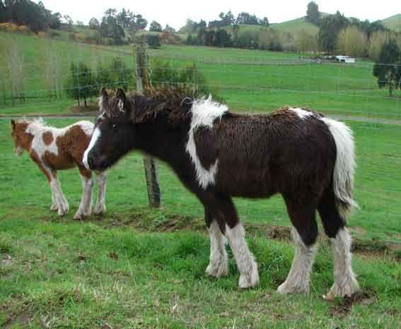 gypsy cob colt for sale
