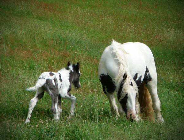gypsy cob filly for sale