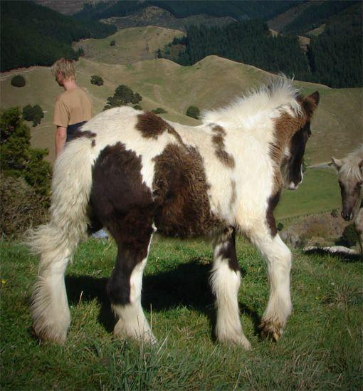 gypsy cob filly for sale in New Zealand
