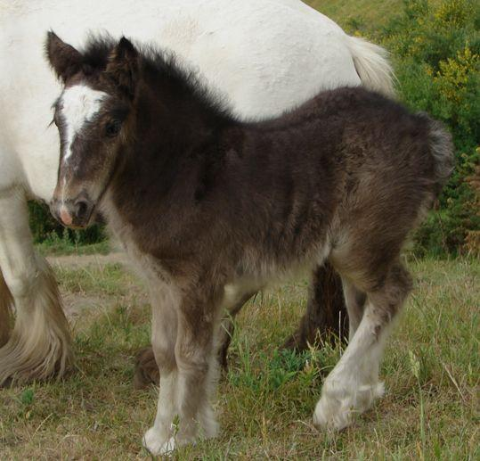 gypsy cob mare in new zealand