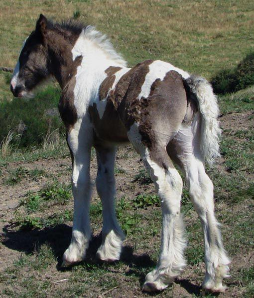 gypsy cob stallion for sale