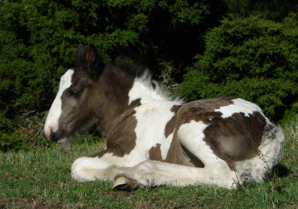 gypsy cob colt for sale new zealand