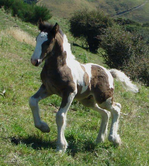 gypsy cob horse for sale
