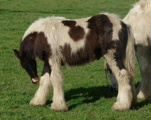 top quality gypsy vanner colt
