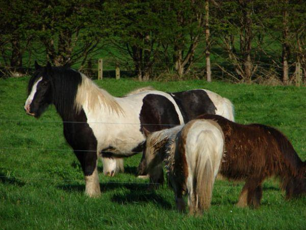 SD farm gypsy cob
