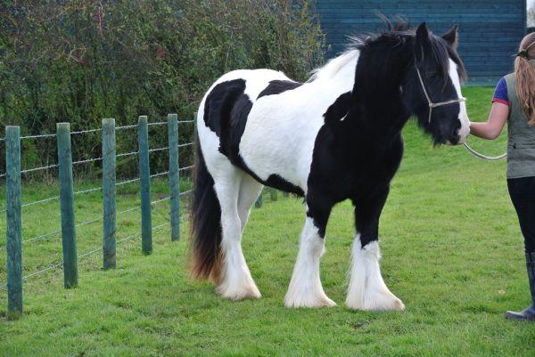SD farm gypsy mare top quality