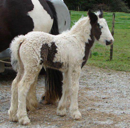 purebred gypsy cob for sale in new zealand