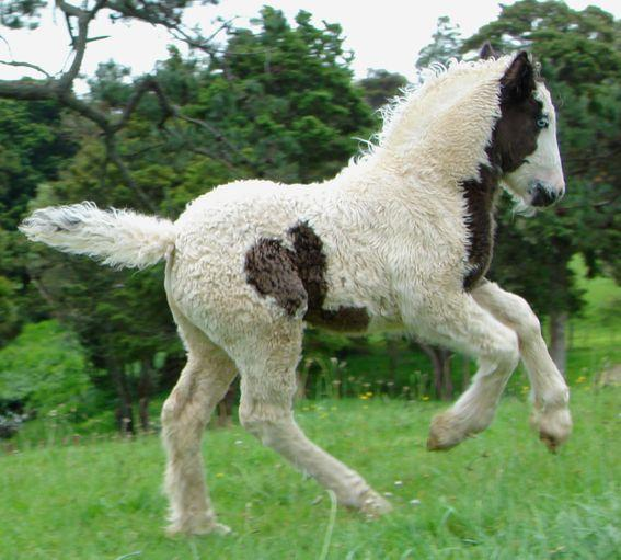 quality gypsy cob filly for sale