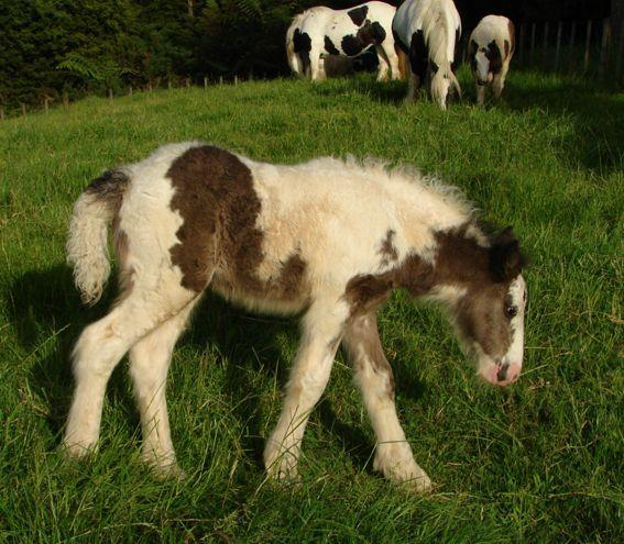 gypsy cob filly for sale Brightwater Gypsy vanners