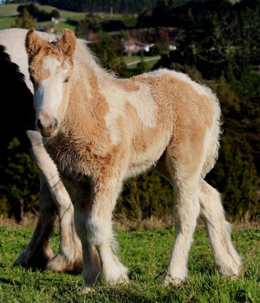 pearl filly