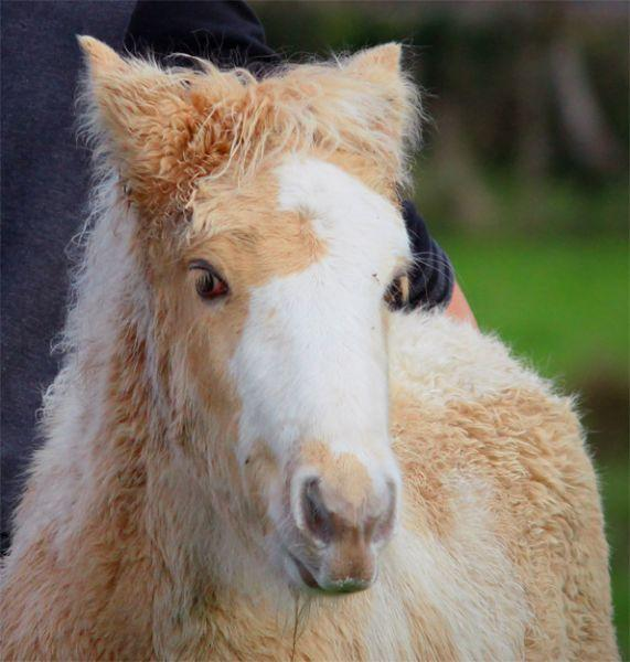 pearl gypsy cob filly