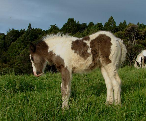 heavy purebred gypsy filly for sale