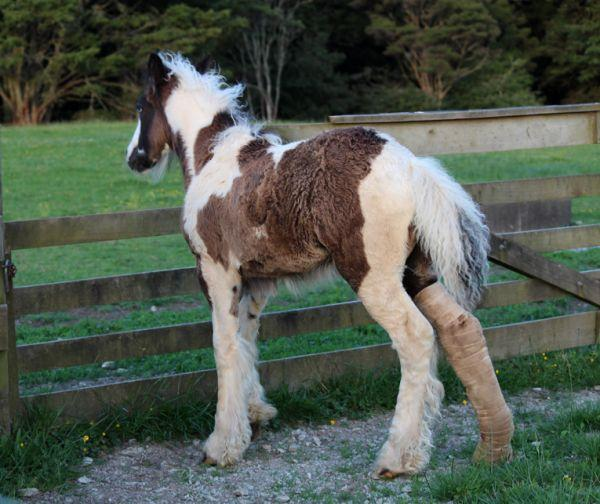 Brightwater gypsy vanner for sale