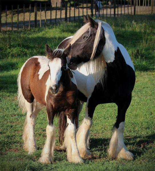 purebred gypsy vanner in new zealand