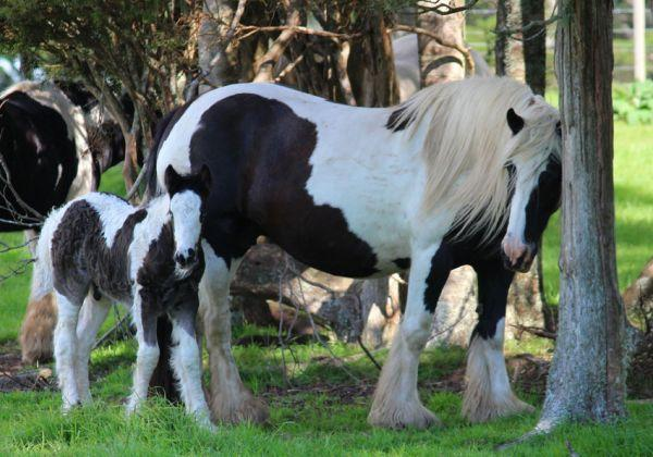 quality gypsy vanner in new zealand