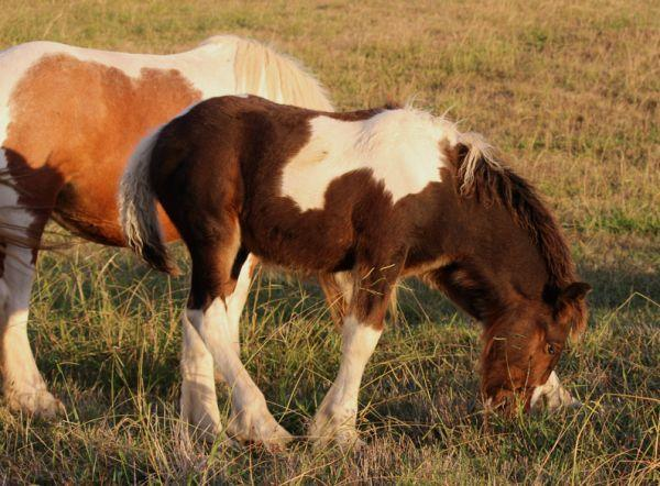 gypsy horse gelding for sale