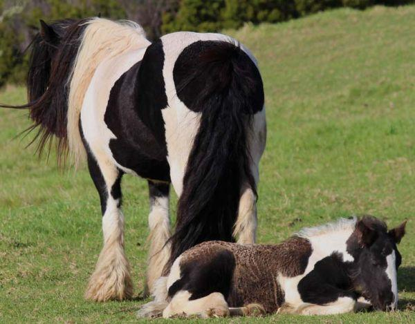 SD Farm gypsy cob mare