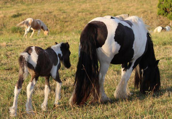 big gypsy vanner mare