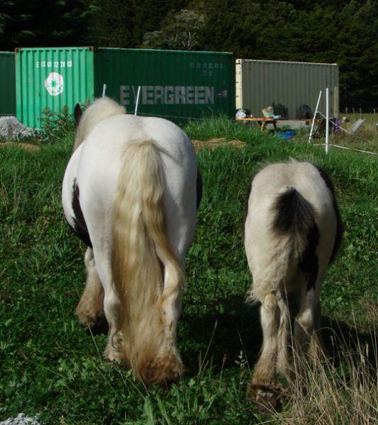 gypsy cob mare and filly