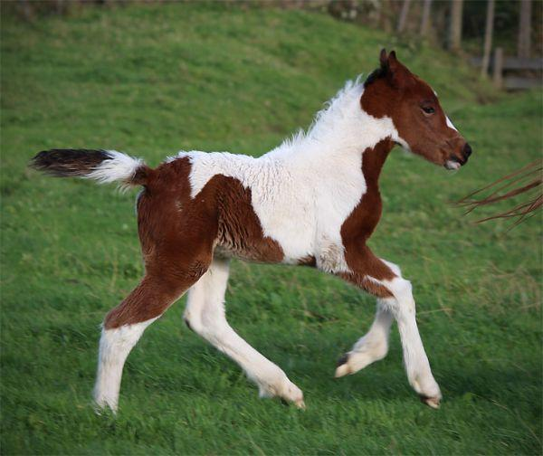gypsy cob filly cross for sale