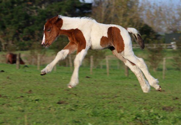 gypsy vanner sport filly for sale