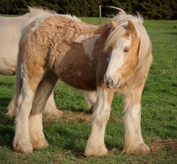 gypsy cob filly 2 pearl genes
