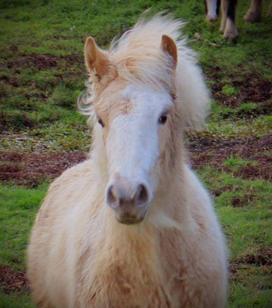 gypsy cob filly pearl gene