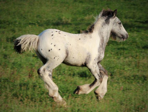 leopard spot gypsy vanner colt for sale in new zealand