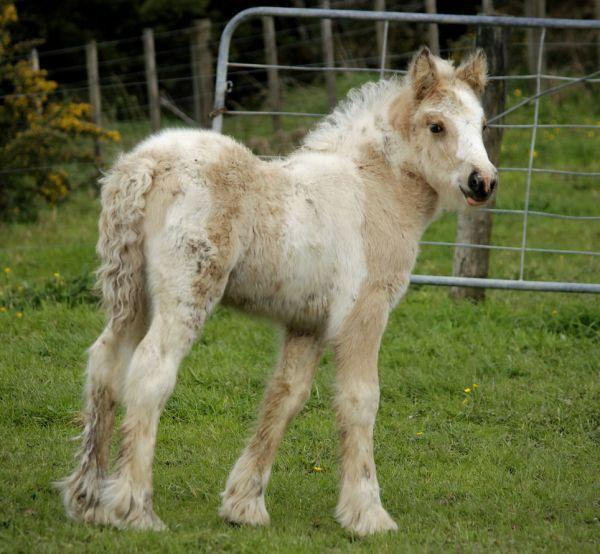 buckskin gypsy cob filly for sale