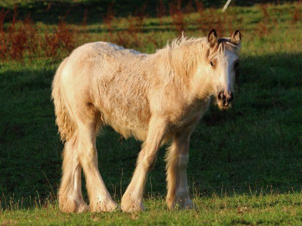 gypsy vanner buckskin filly