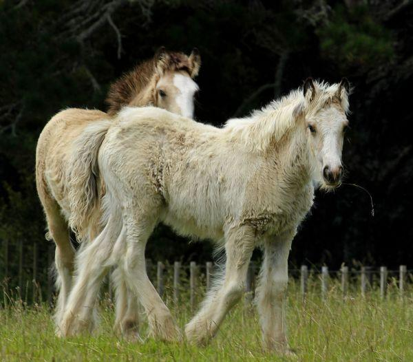 gypsy cob filly buckskin