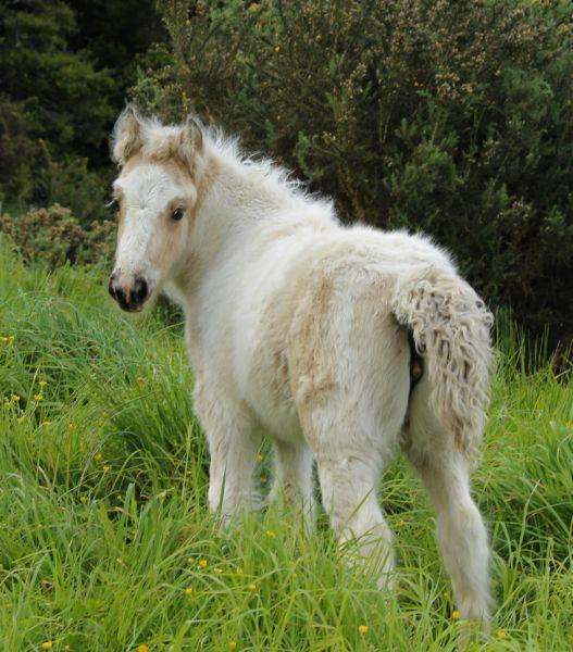 gypsy vanner filly buckskin