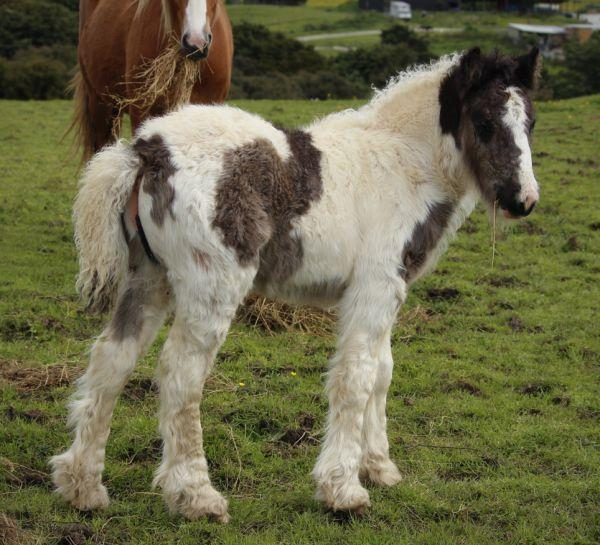 gypsy cob filly for sale new zealand