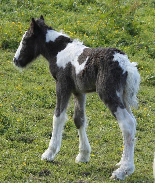 quality gypsy cob filly for sale in new zealand