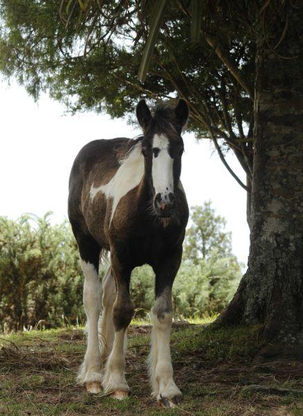 gypsy cob filly for sale nz