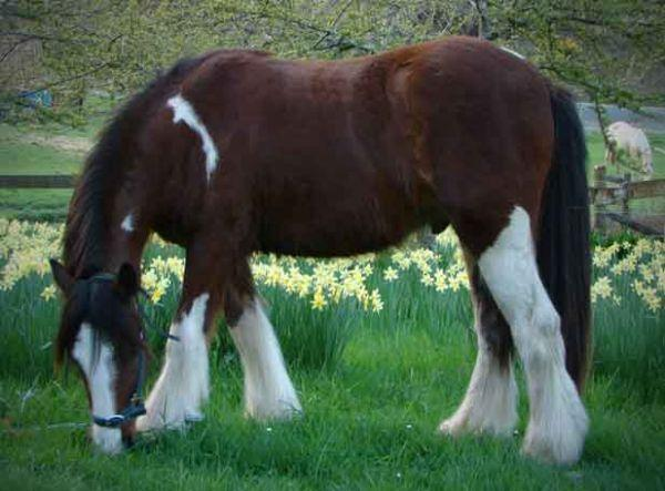 1/2 cross gypsy vanner with feather