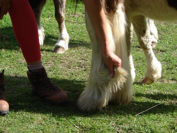 heavy feathered part bred gypsy cob